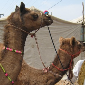 Camels for Cash: India's Fleeting Camel Trade, Time.com